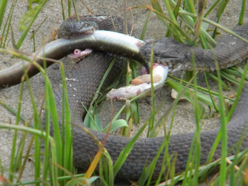 northern water snakes arguing over dinner (eel)