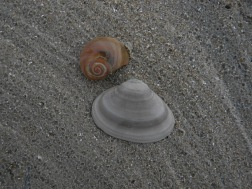 moon snail and surf clam