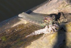 dragonfly emerging from nymph stage, Susquehanna River PA