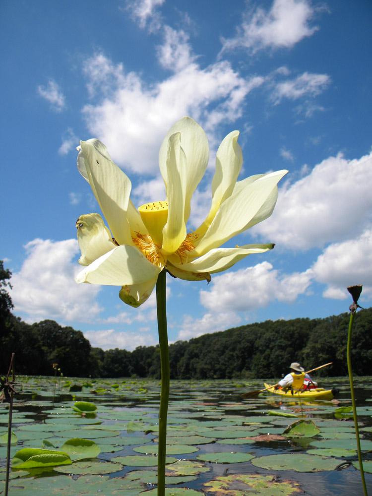 paddling among the lotus