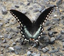 e tiger swallowtail fem dark form
