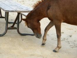 wild ponies on Assateague