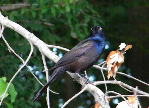 grackle (a native species that likes to fish along the edges)