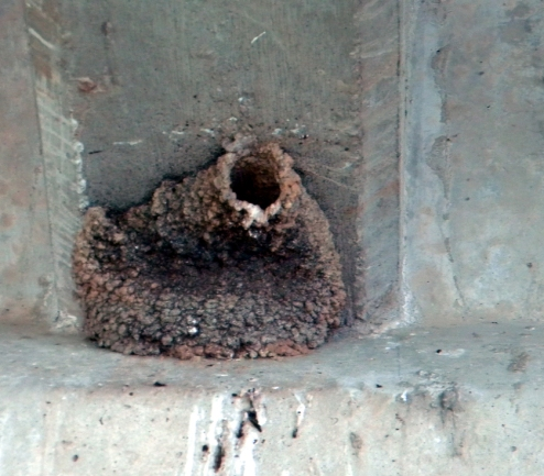 swallow mud nest
