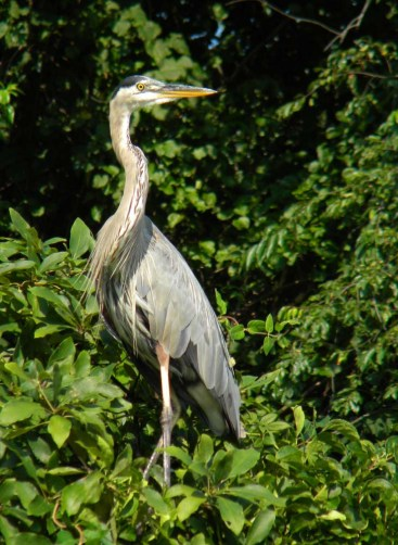 great blue heron, I picked up an injured one once, wear goggles